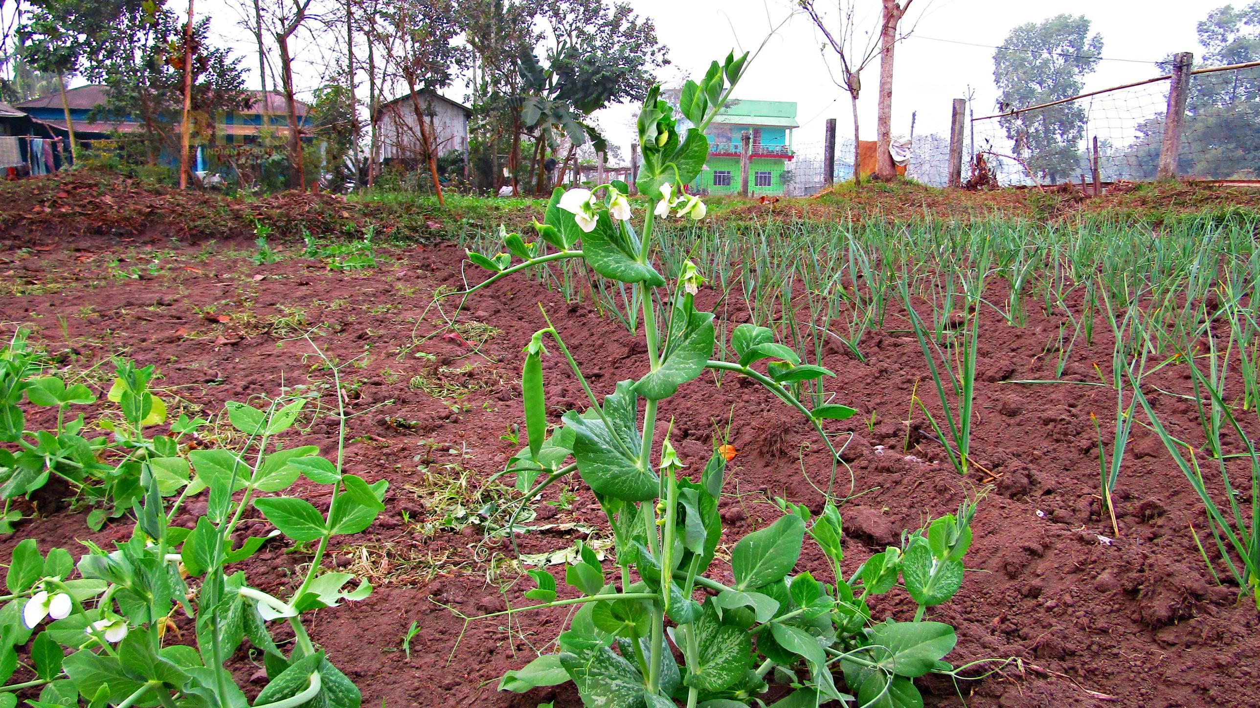 Snow Pea Plant